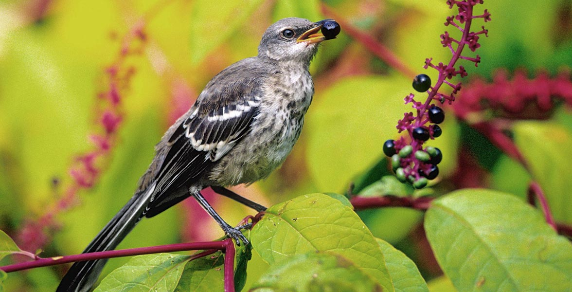 Juvenile Northern Mockingbird at an American pokeweed